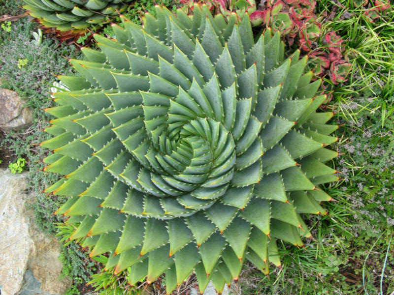 spiral aloe from world of succulents.com