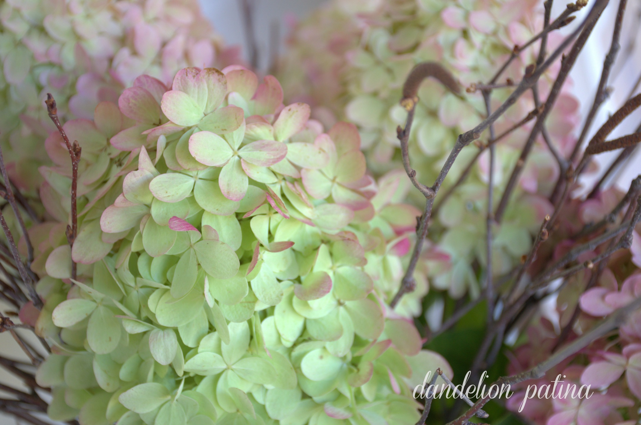 delicate petals of a limelight hydrangea