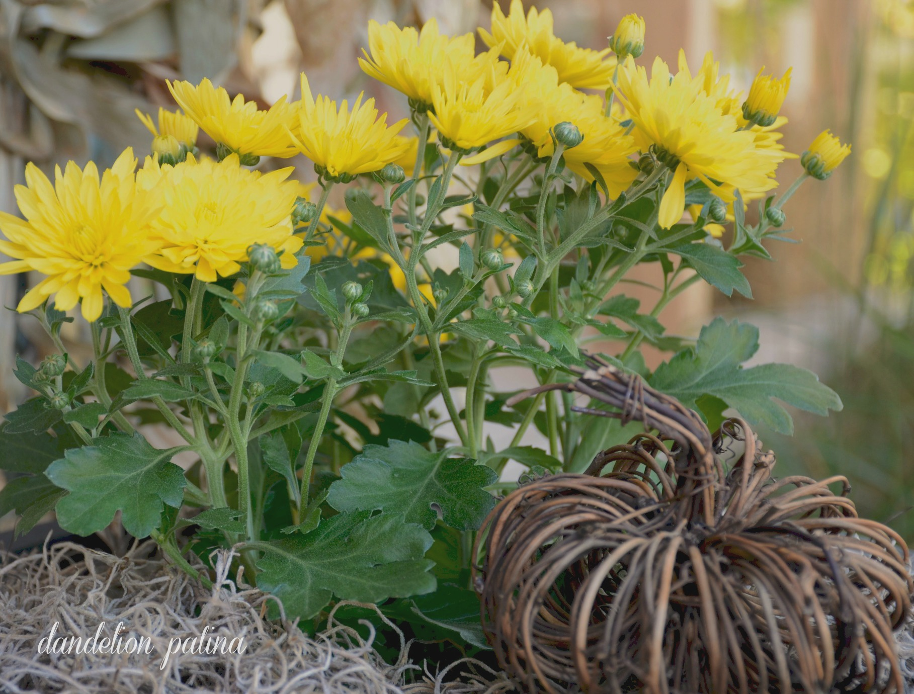 yellow mums and twig pumpkin