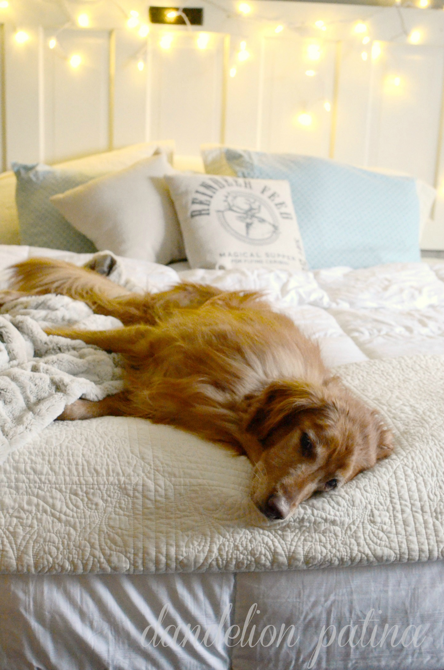 golden retriever comfy in bed